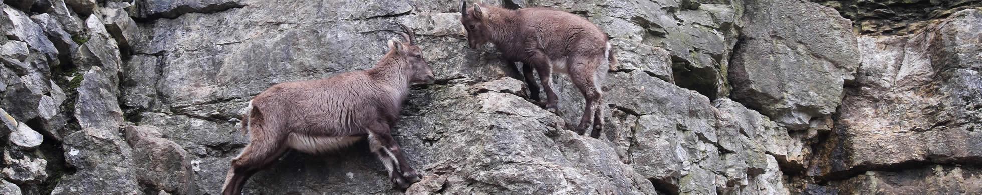 Zwei Steinböcke am Fels